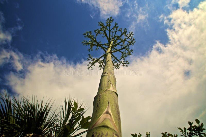 Смотреть вверх вдоль черенок дерева столетника как цветочный стебель стоковое фото