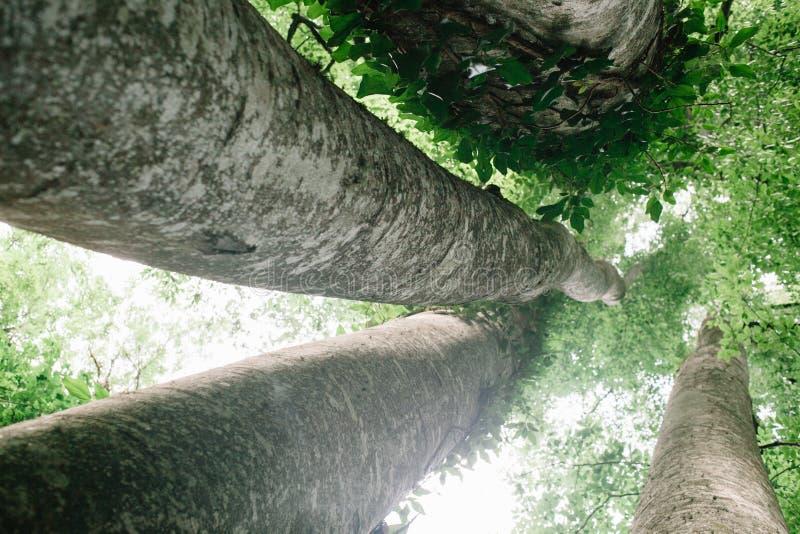 Смотреть вверх в высокорослые деревья бука в естественном лесе стоковое фото rf