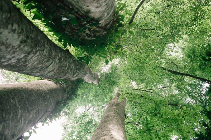 Смотреть вверх в высокорослые деревья бука в естественном лесе стоковая фотография rf