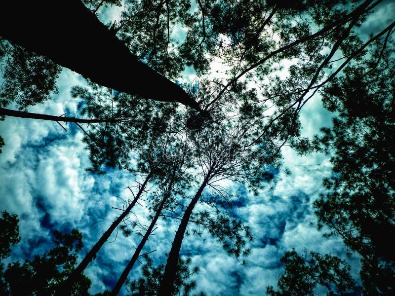 Смотреть вверх в сосновом лесе стоковое изображение