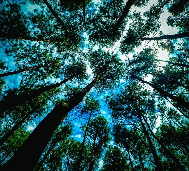 Смотреть вверх в сосновом лесе стоковая фотография