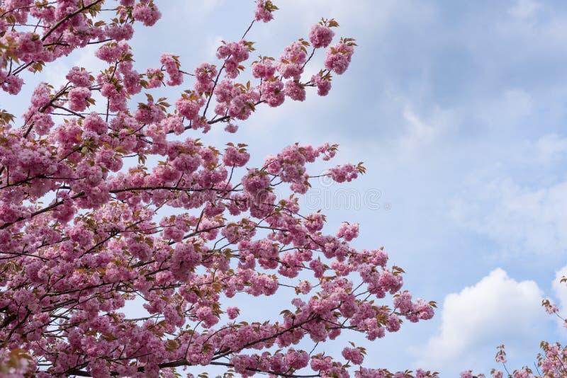 Смотреть вверх на розовых цветках против голубого неба - blos Сакуры вишни стоковые фотографии rf