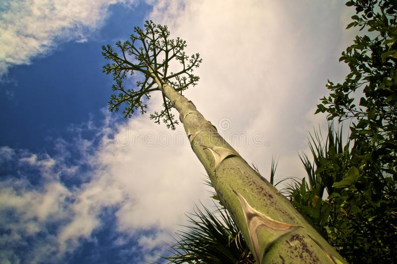 Смотреть вдоль черенок дерева столетника как цветочный стебель стоковая фотография