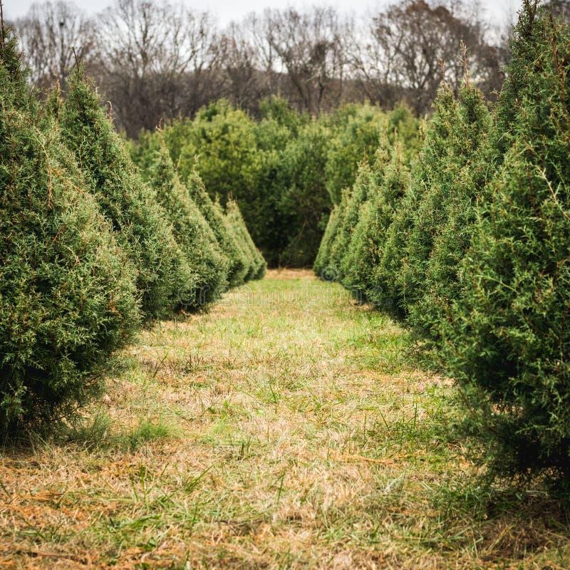 Смотреть вниз со строки рождественских елок стоковое фото