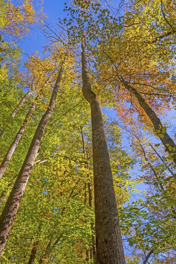 Смотреть до осень в верхних частях дерева стоковое изображение