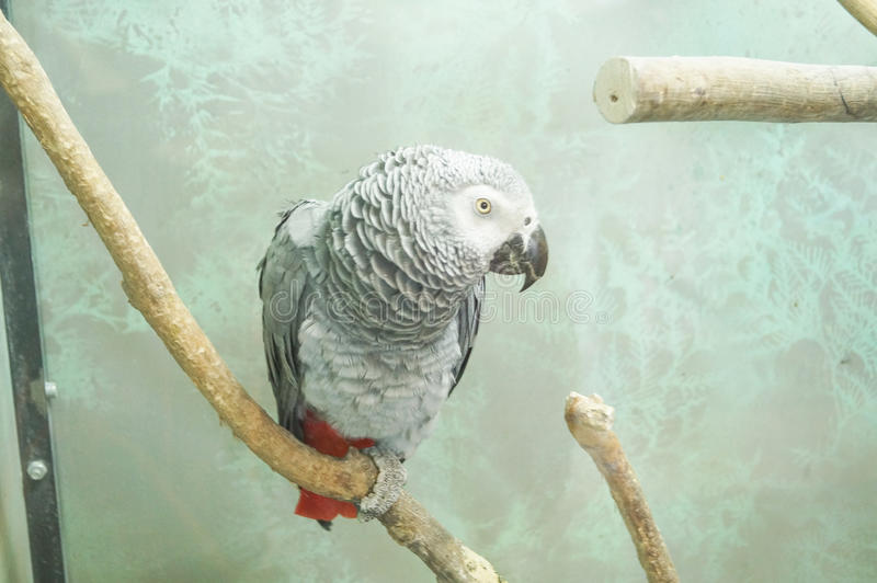 Смотреть конца-вверх головы попугая африканского серого цвета стоковое изображение rf