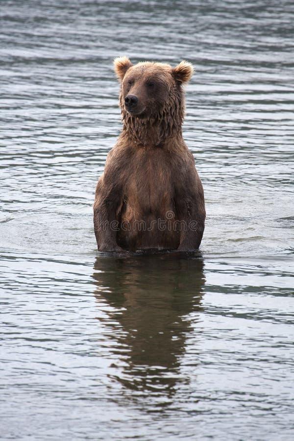 смотреть медведя коричневый прибрежный salmon стоковые фото