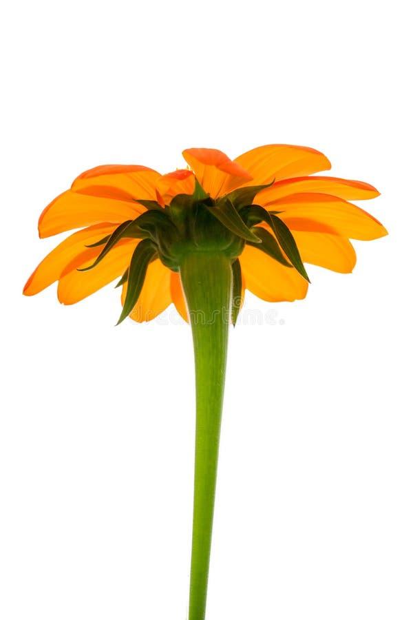 Смотреть мексиканского солнцецвета подсвеченный вверх на чисто белой предпосылке стоковая фотография rf