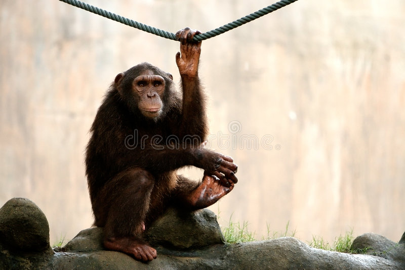 смотреть обезьяну стоковое фото rf