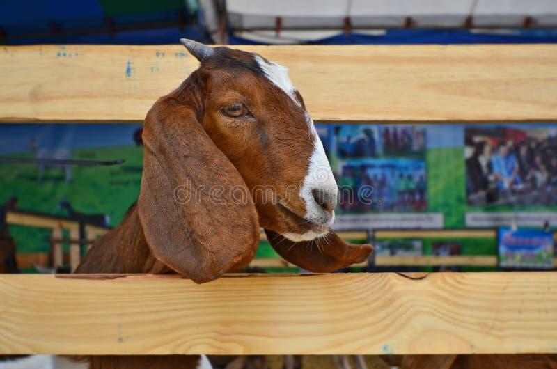 Смотреть прищурясь головной молодых овец от загона стоковые изображения