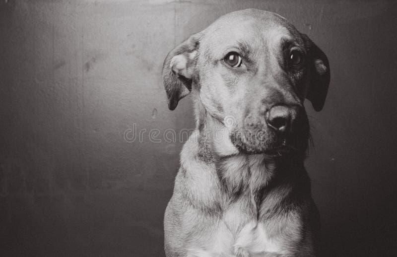 Смотреть черно-белой собаки сидя стоковое фото