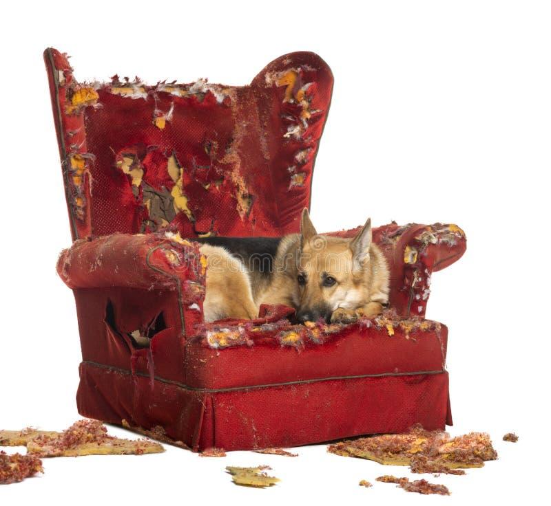 Смотреть Sheperd немца dipressed на разрушенном кресле стоковые фото