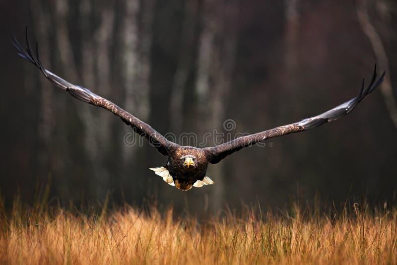 Смотрите на полет, albicilla Haliaeetus, Бело-замкнутый орла, хищные птиц с лесом в предпосылке стоковые фотографии rf