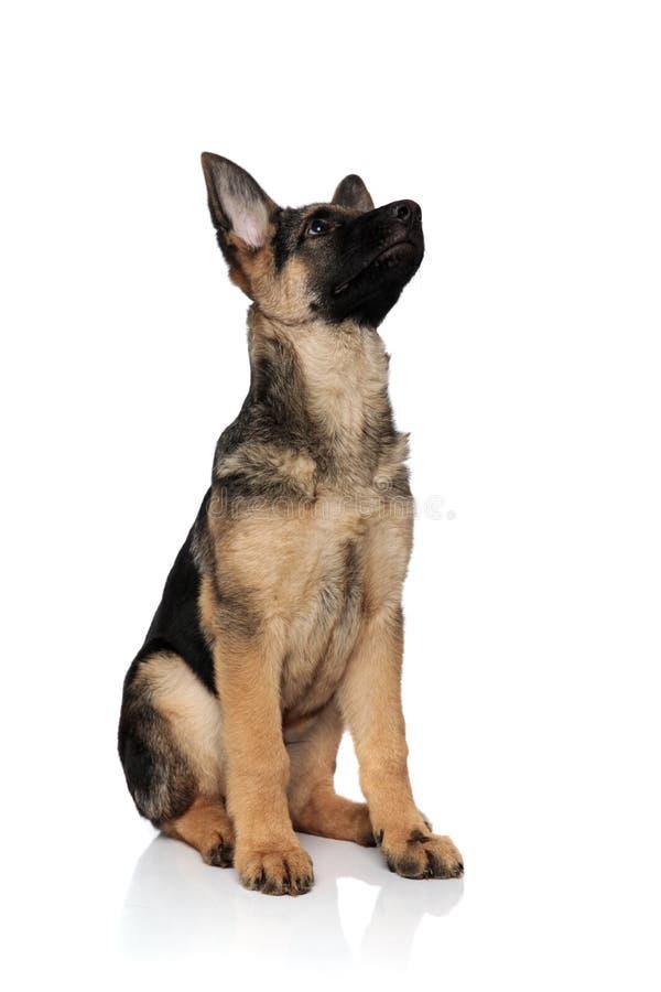 Смотрят, что вверх встает на сторону прелестная усаженная собака волка стоковая фотография rf