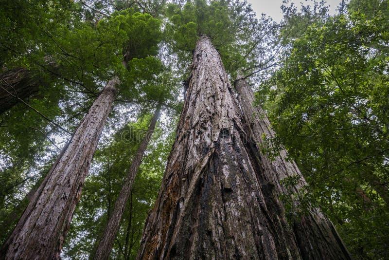 Смотрящ вверх вдоль хоботов 2 больших sempervirens секвойи деревьев Redwood, Калифорния стоковые изображения rf