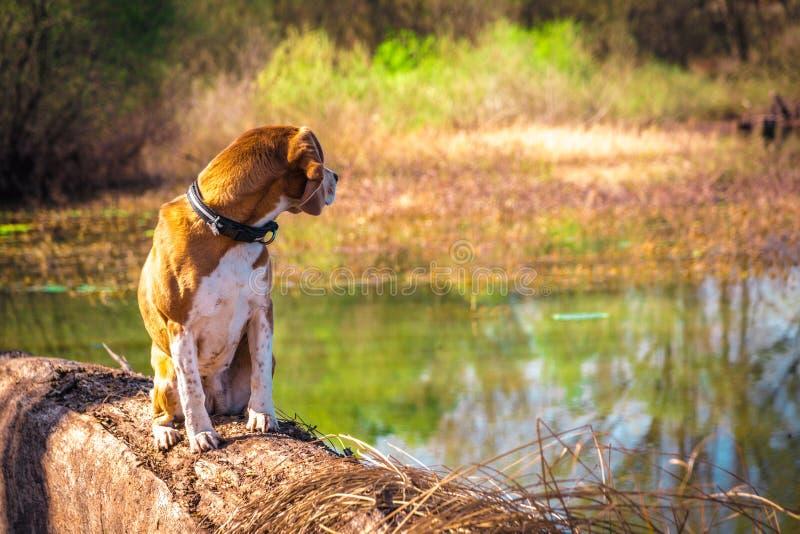 Смотрящ назад портрет чистой усаженной собаки бигля породы на береге озера хобота стоковые изображения