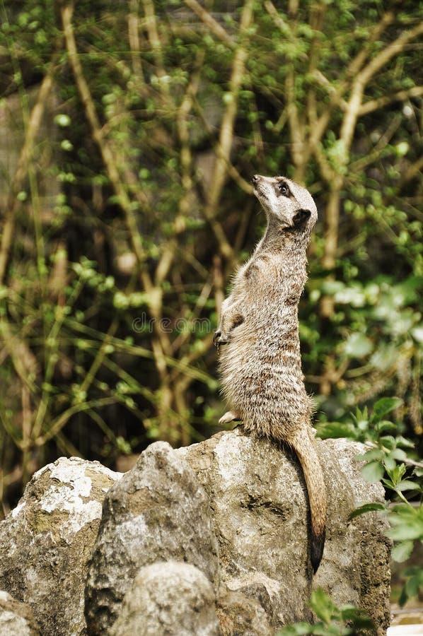 смотрящ meerkat вверх стоковые изображения rf