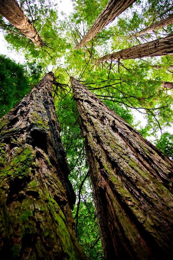 смотрящ redwood вверх стоковые изображения rf