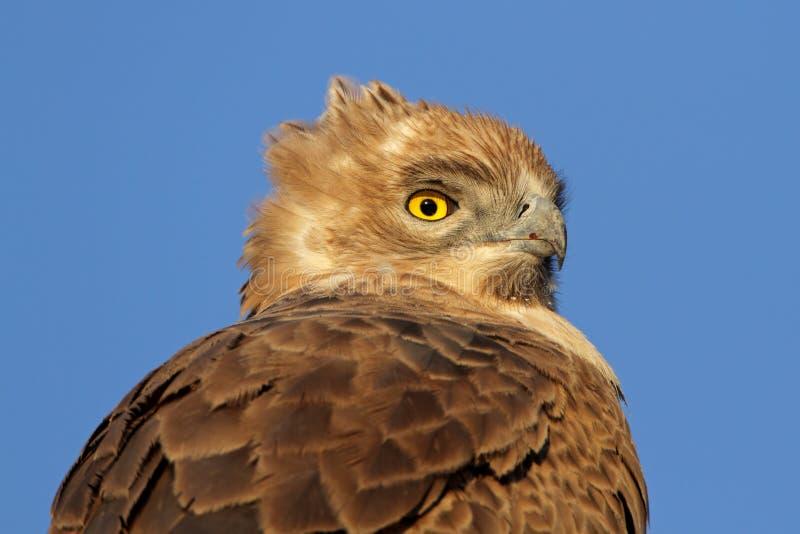 Смуглавый орел стоковые изображения