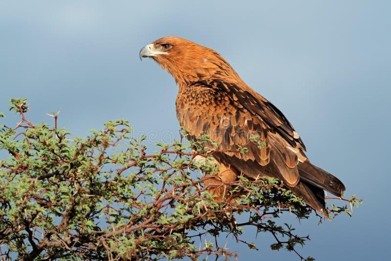 Смуглавый орел стоковое изображение rf