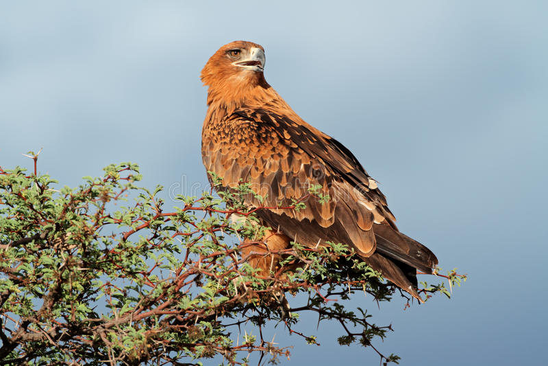 Смуглавый орел стоковая фотография rf