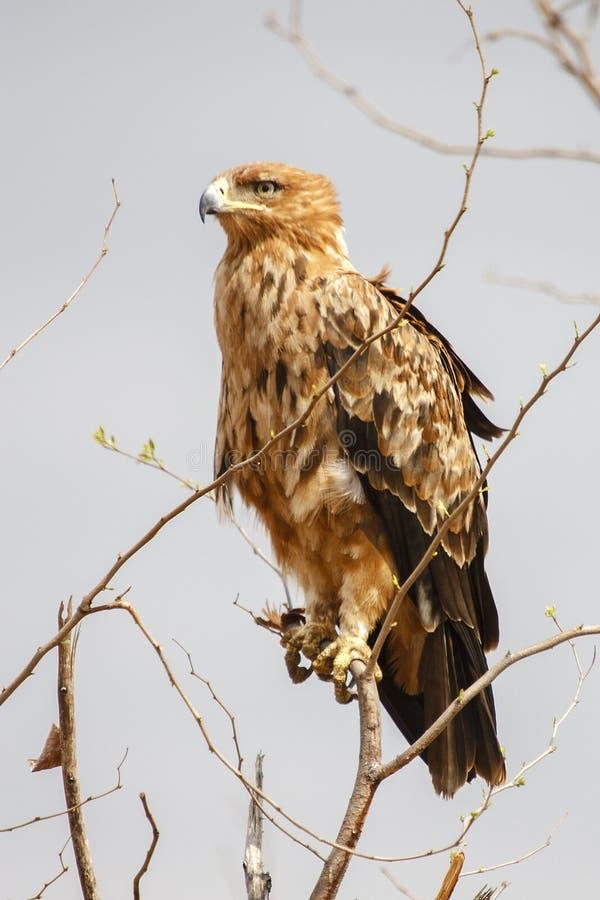 Смуглавый орел стоковое фото