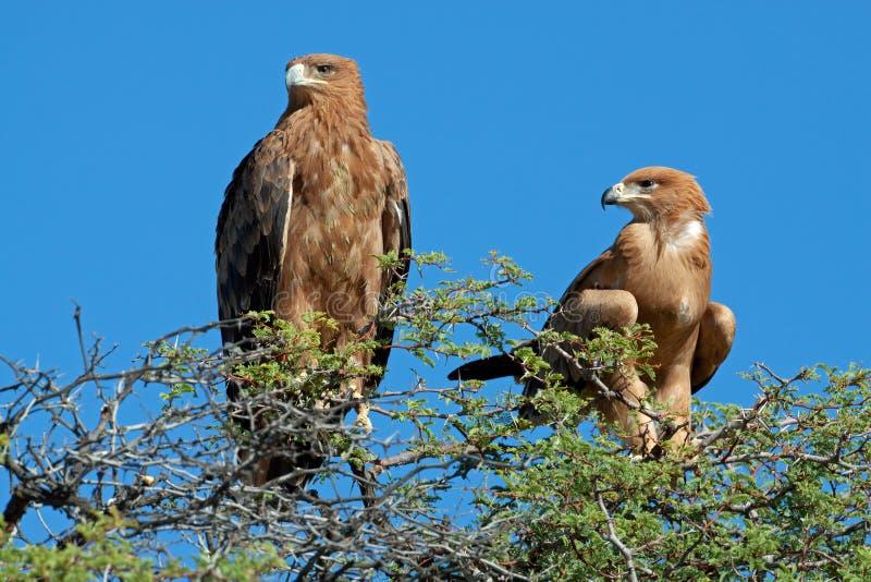 Смуглые Eagles стоковая фотография