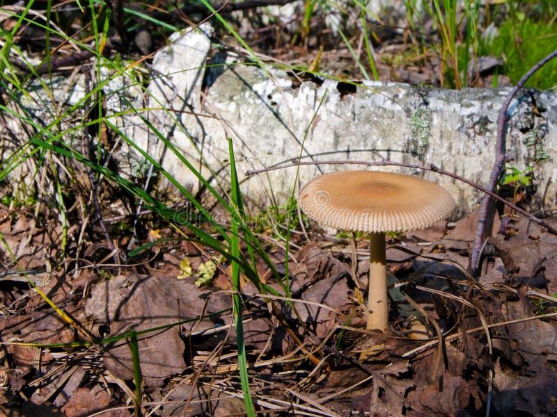 Смуглый гриб Grisette стоковые изображения rf