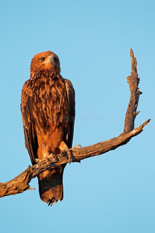 Смуглый орел стоковые фото