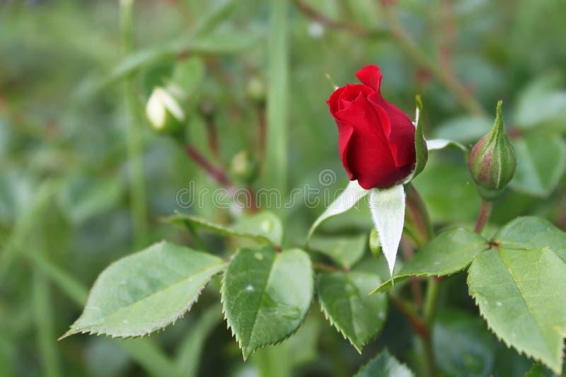 Снаружи красной розы растущее стоковая фотография rf