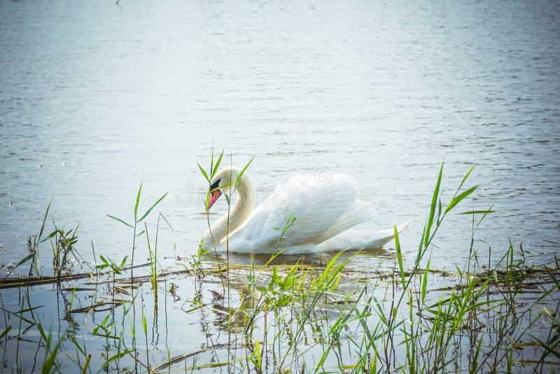 Снег-белый лебедь плавает в живописном пруде стоковое изображение