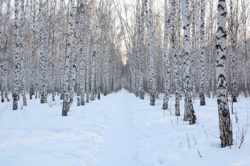 Снег зимы березы стоковые изображения rf
