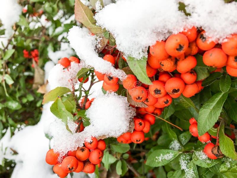 Снег зимы покрыл ветвь ягоды рябины стоковое изображение rf