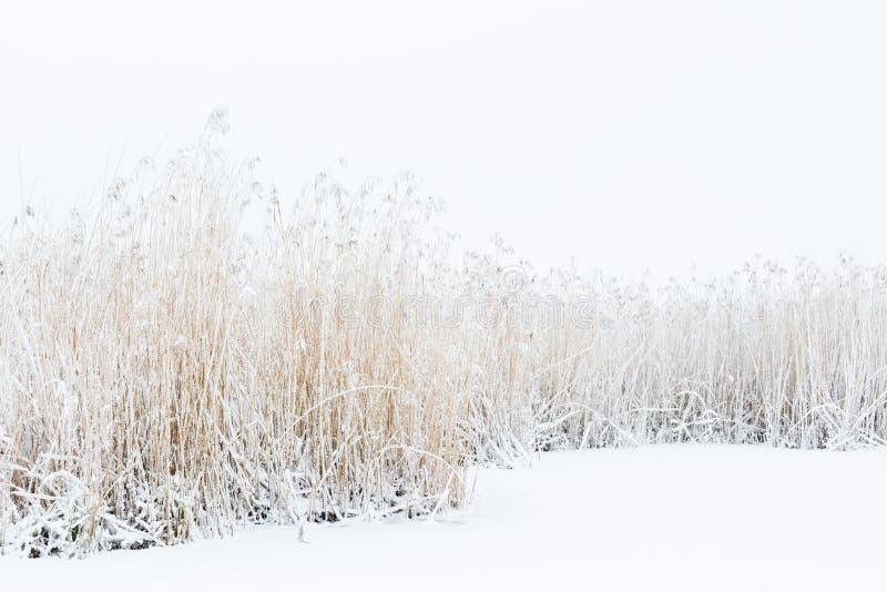 Снег и заморозок на камышовой кровати стоковые фотографии rf