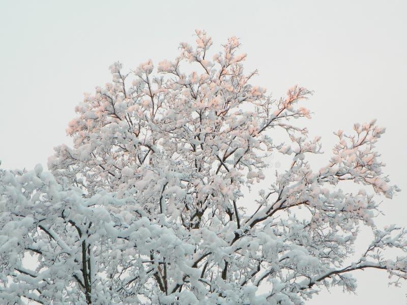 Снег на деревьях стоковая фотография rf