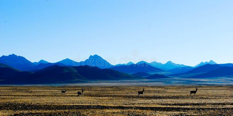 Снег-покрытая гора, тибетское antelop и плато стоковая фотография