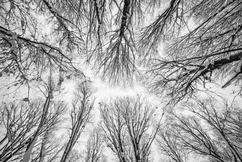 Снег покрыл верхние части дерева стоковые изображения rf