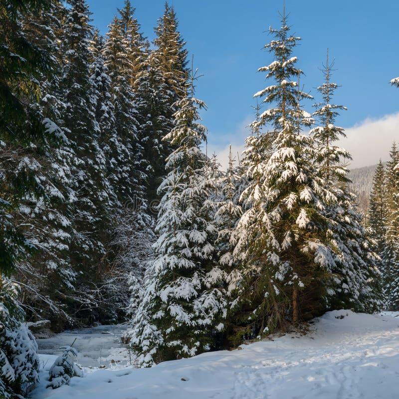 Снег покрыл ели на предпосылке голубого неба стоковое изображение