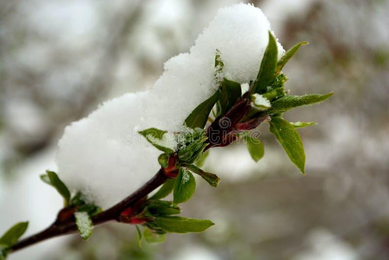 Снег покрыл зеленые бутоны лист дерева на ветви стоковое изображение