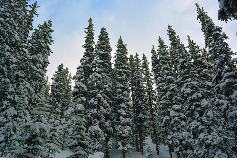 Снег покрыл сосны в лесе стоковое изображение