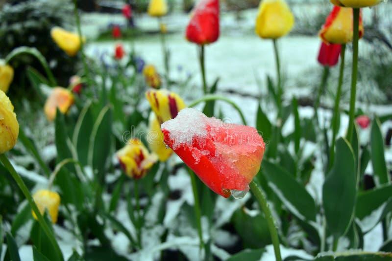 Снег покрыл тюльпаны весны желтые и красные closeup стоковые изображения rf