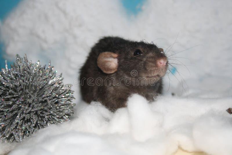 Снег черной крысы стоковые фотографии rf