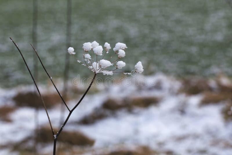 Снег Umbel стоковые фото