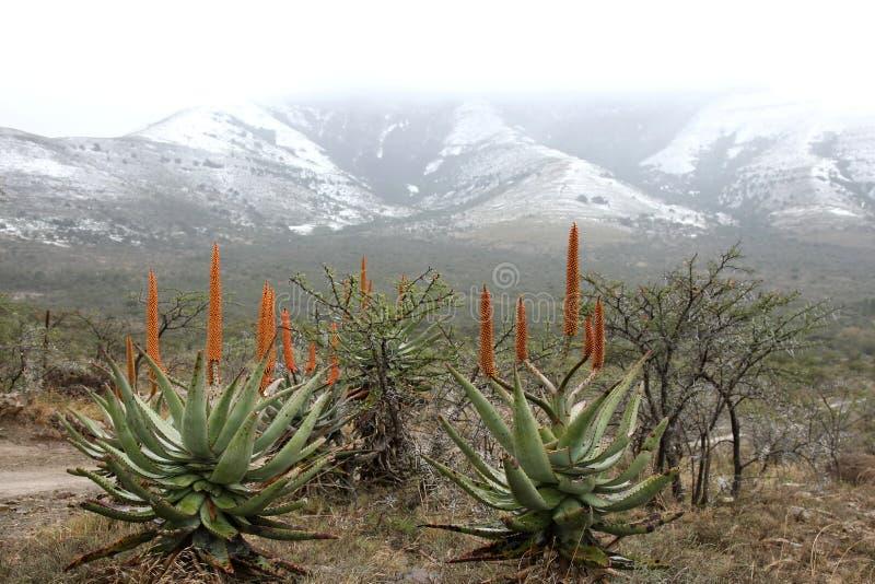 снежок алоэ стоковое изображение rf