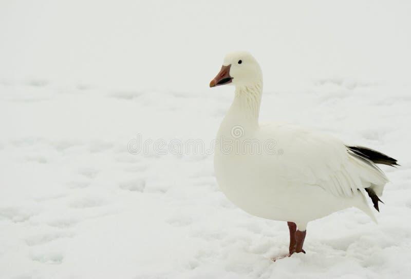 снежок гусыни chen caerulescens стоковые фото