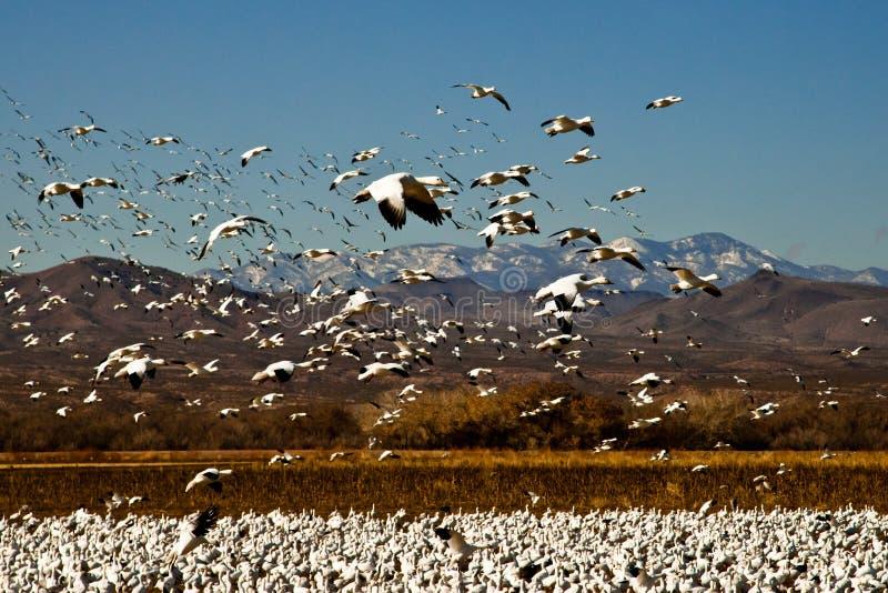 снежок гусынь полета стоковое изображение