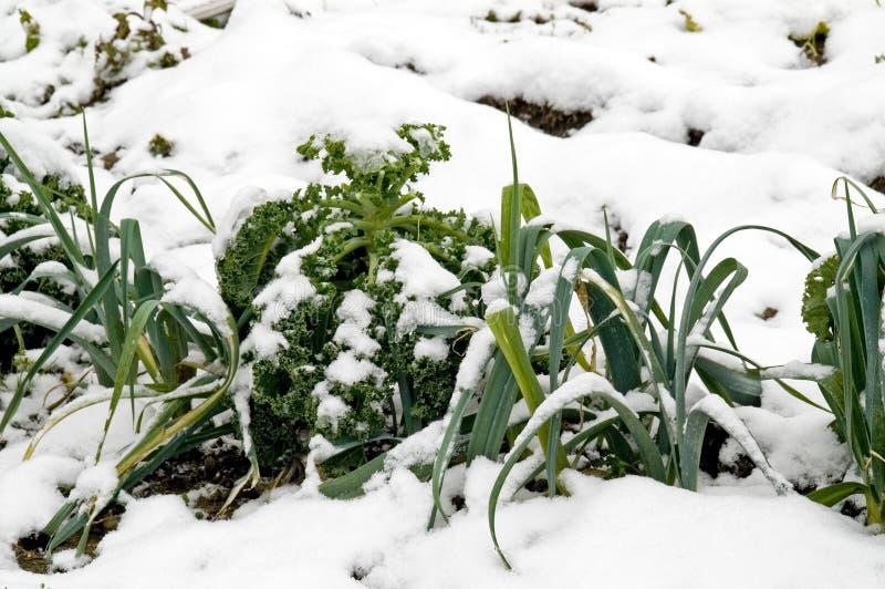 снежок лук-пореев kale стоковое фото