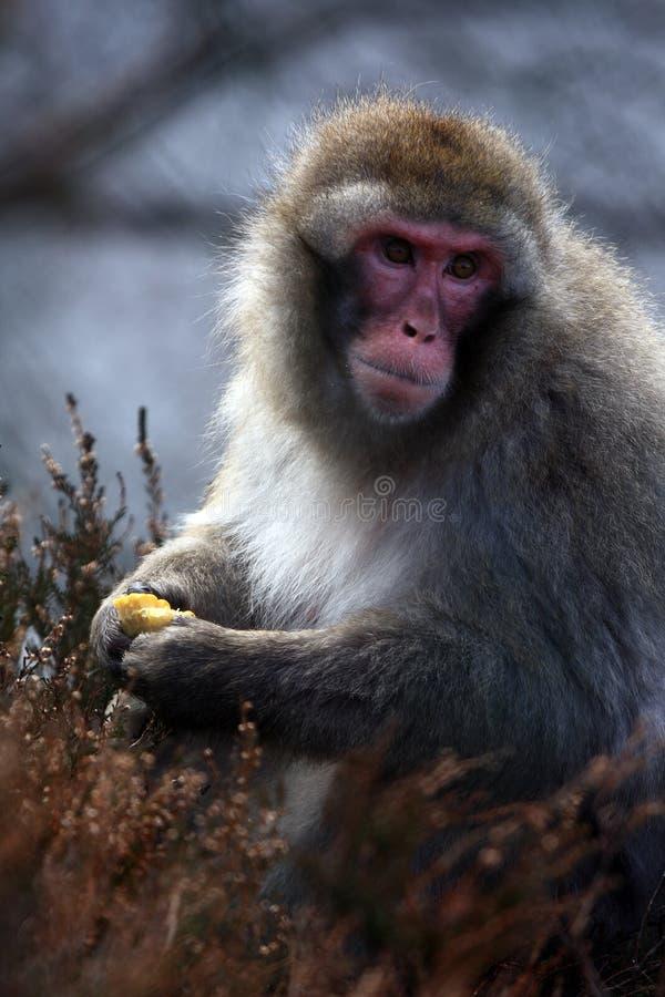 снежок обезьяны стоковые фотографии rf