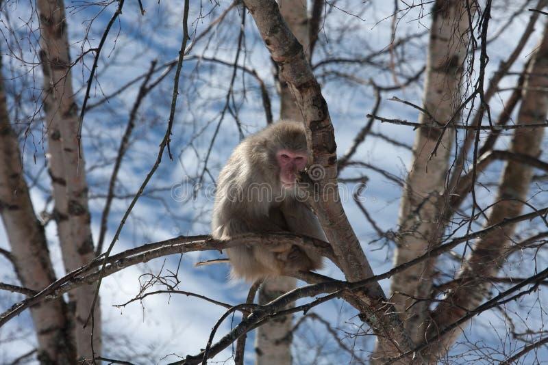 снежок обезьяны стоковое изображение rf