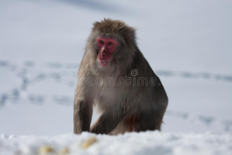 снежок обезьяны стоковая фотография